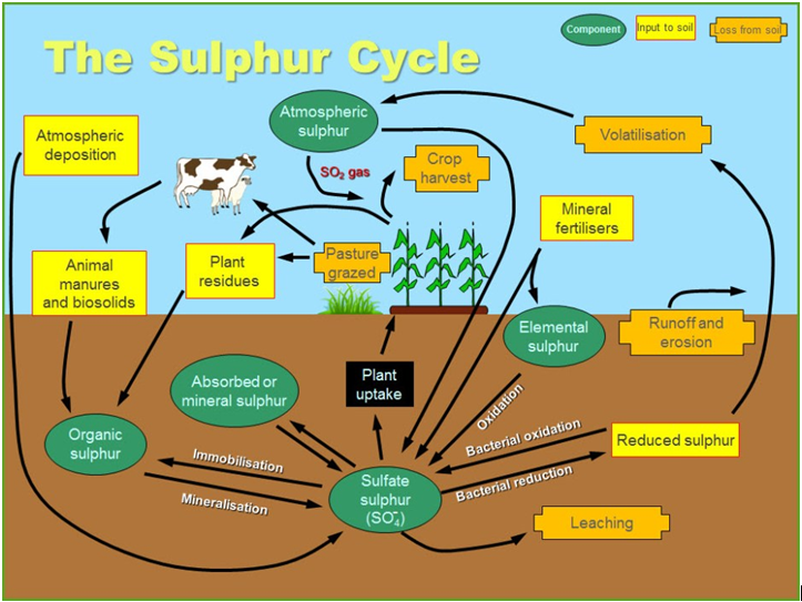 Nitrogen cycle sulphur cycle and hydrological cycle the sulphur of the amino acids is converted to hydrogen sulphide h2s by another ccuart Images